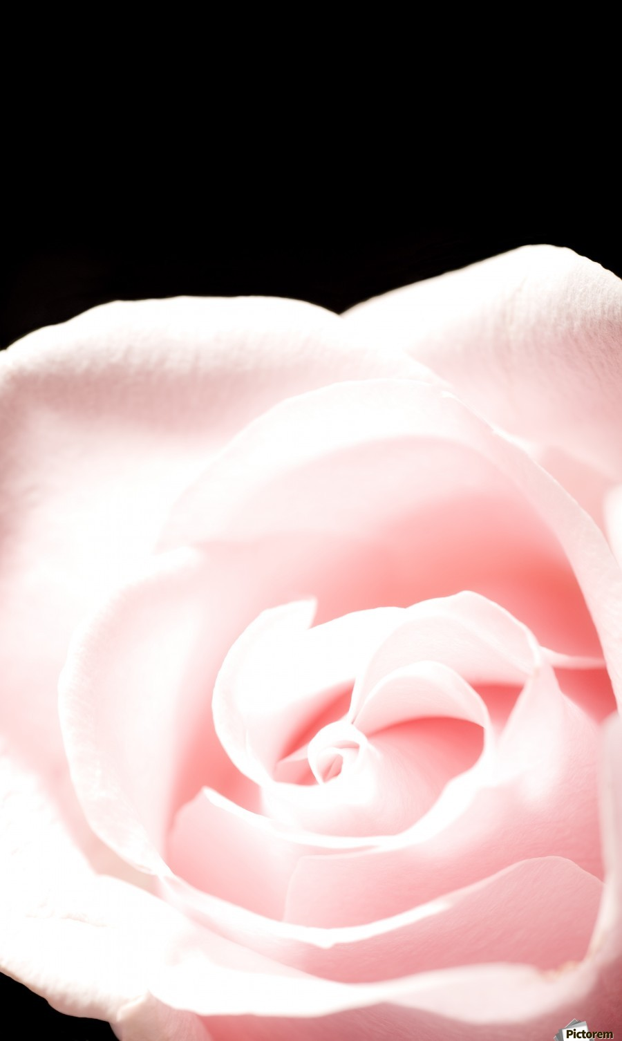 Pink Rose, Close-Up  Print