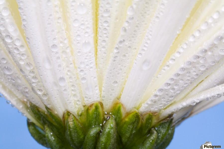 White Flower Head With Dew  Print