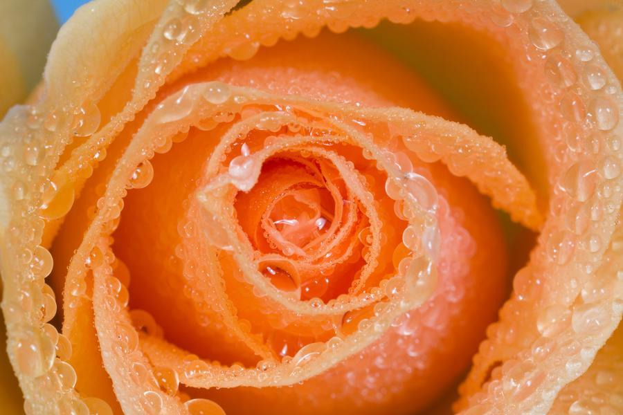 Orange Rose With Dew  Print