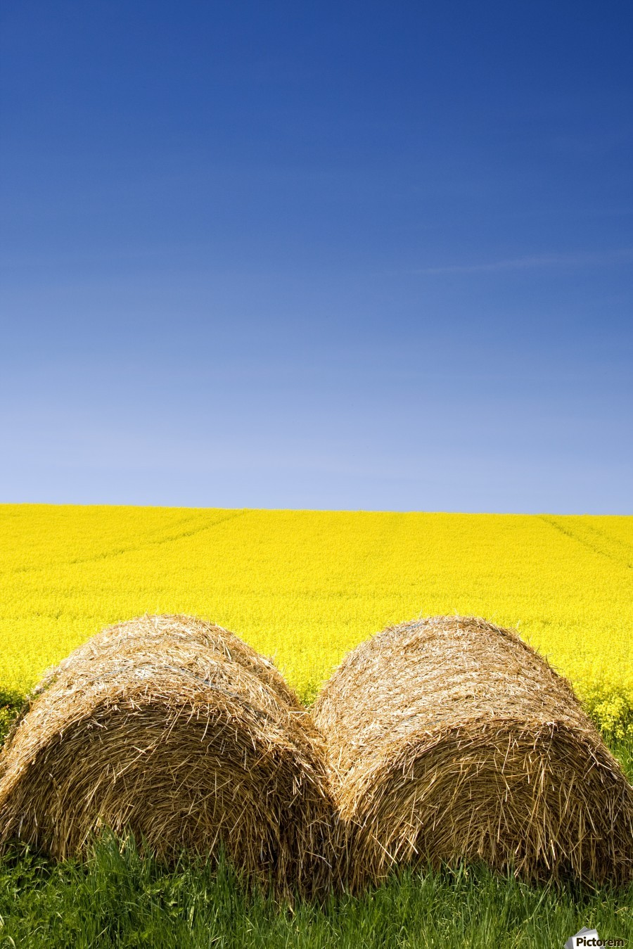 Hay Bales And Canola Field, North Yorkshire, England  Print