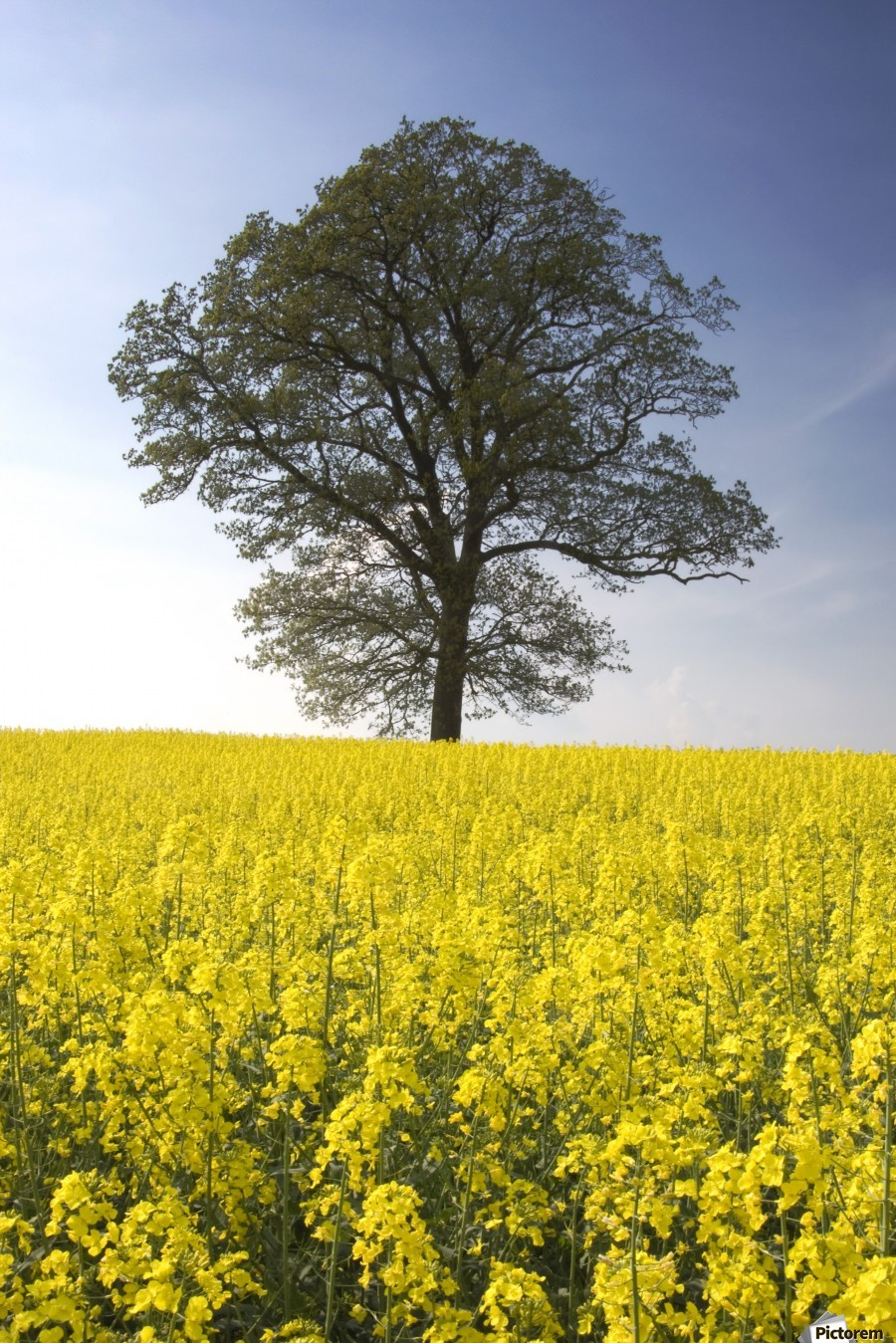 Tree In A Rapeseed Field, Yorkshire, England  Print