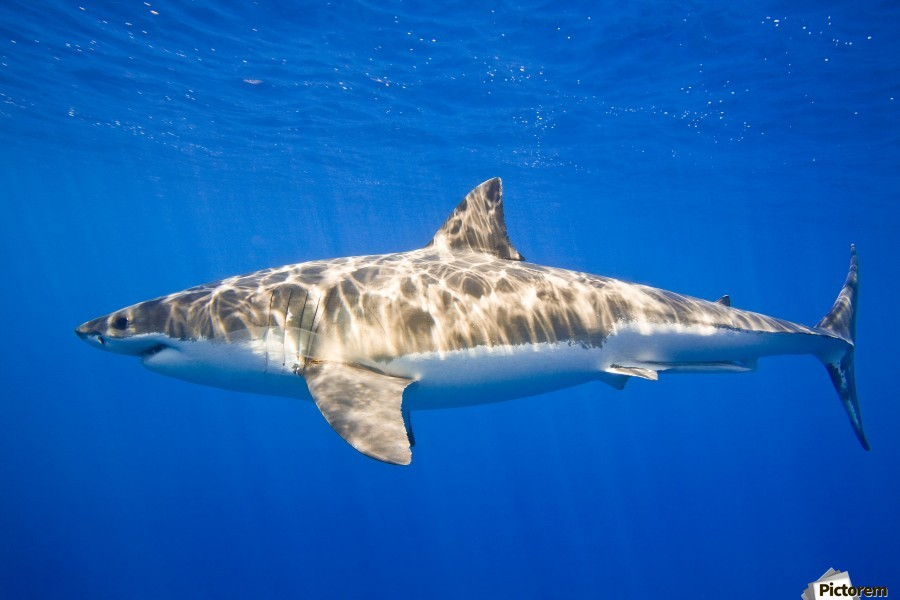 Great White Shark (Carcharodon Carcharias)  Print