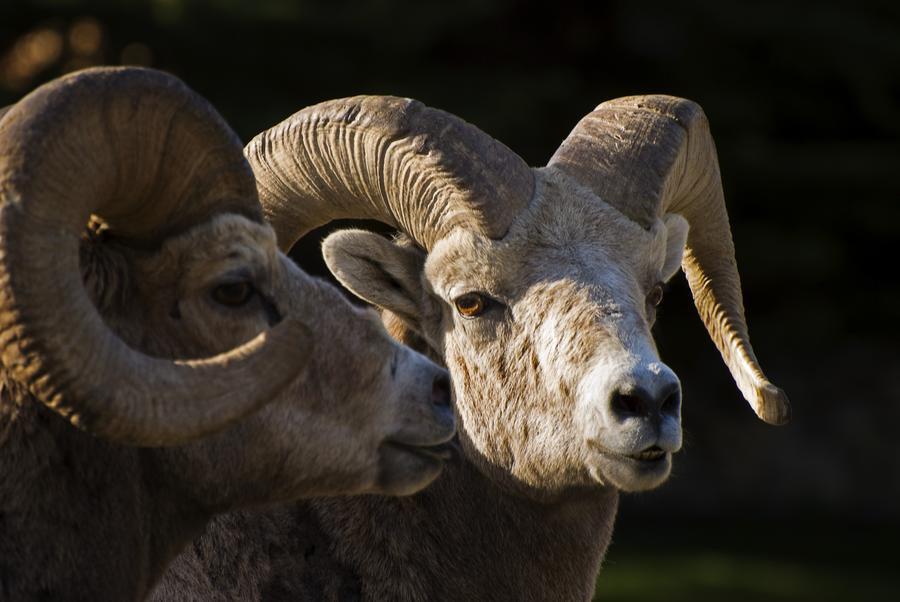 Bighorn Sheep, Waterton National Park, Alberta, Canada  Print