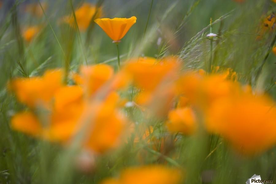 Close Up Of Orange Poppy Flowers  Print