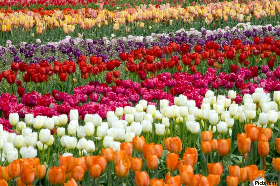 A Tulip Field  Print