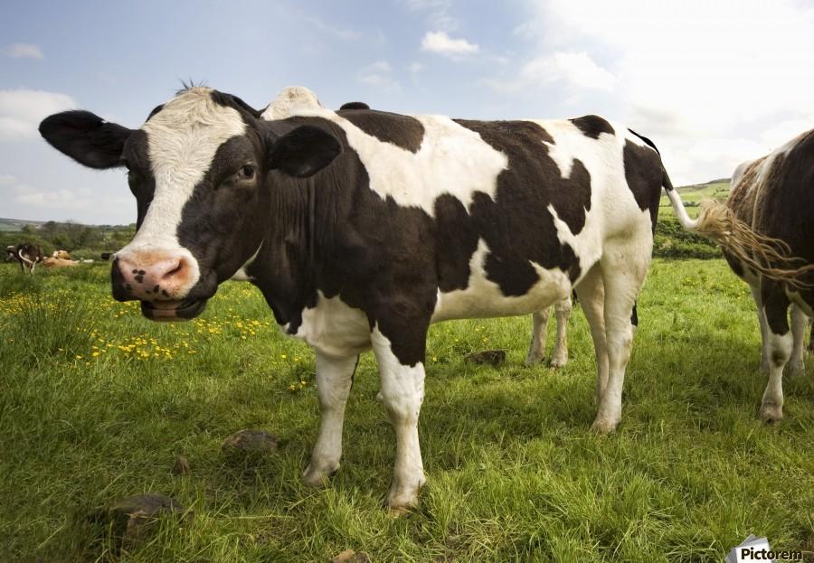 Holstein Friesian Calf Holstein-Friesian Catt...