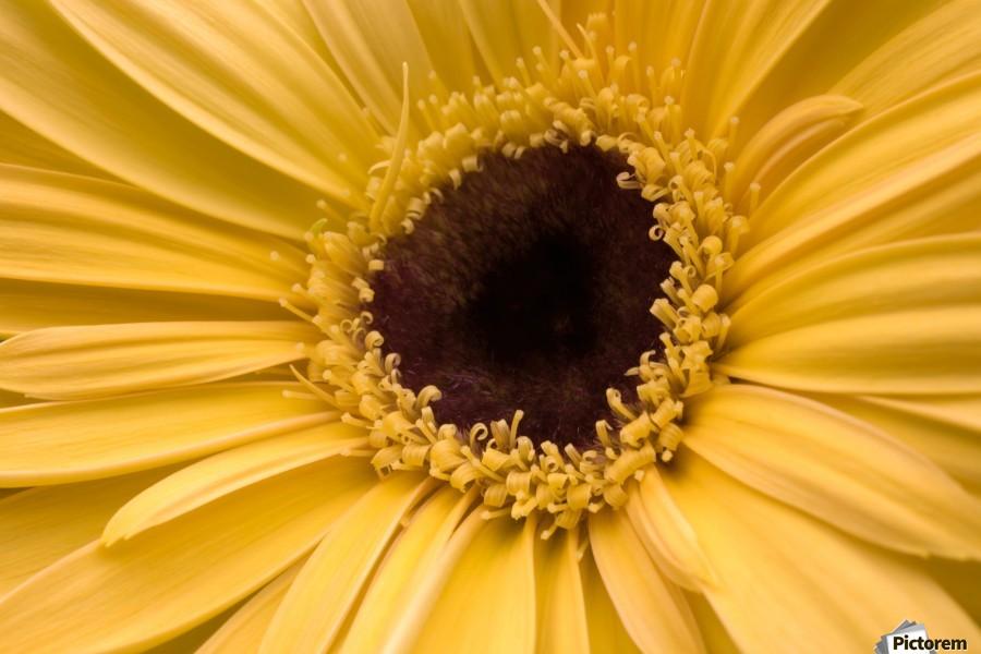 Close Up, Gerbera Daisy  Print
