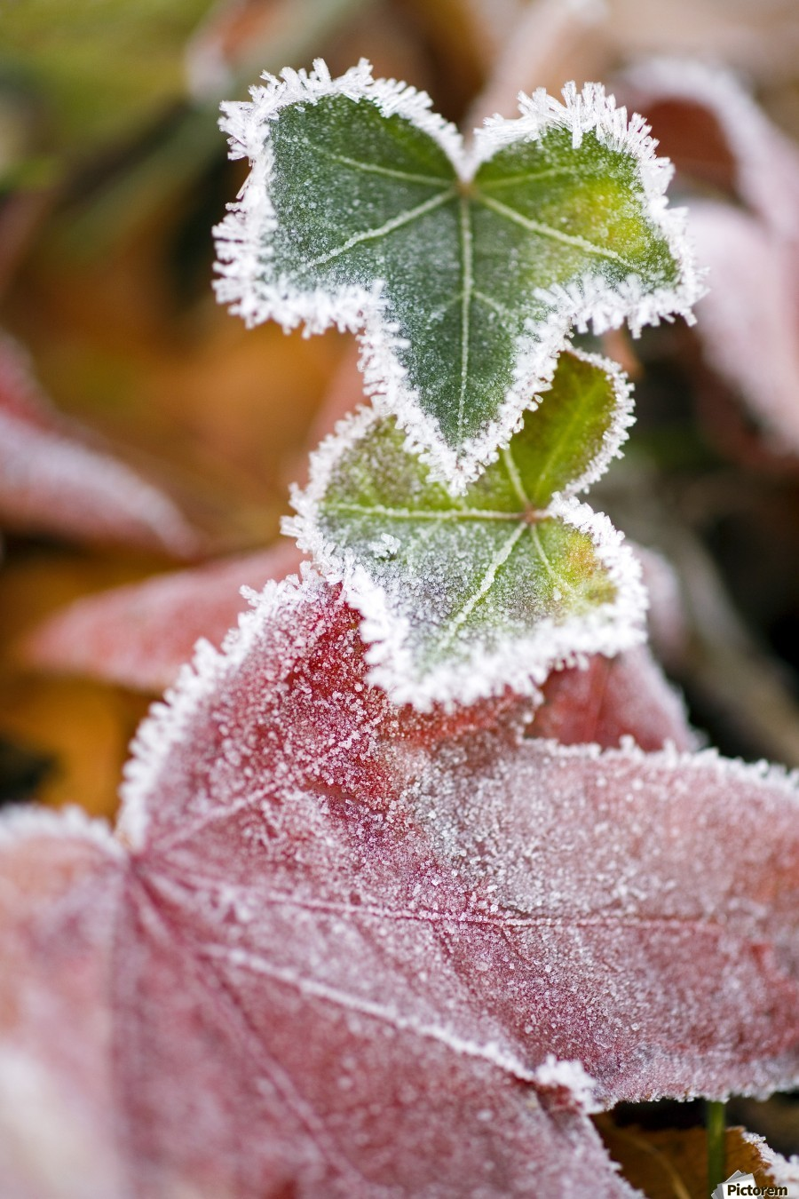 Frost On Autumn Leaves  Print