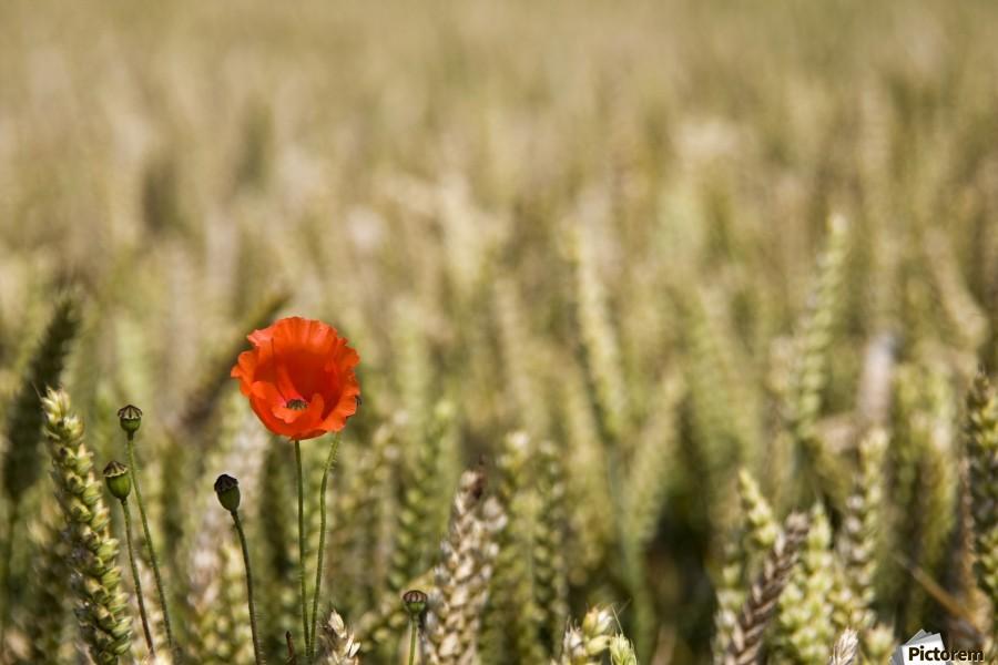 Poppy Flower In Field Of Wheat  Print
