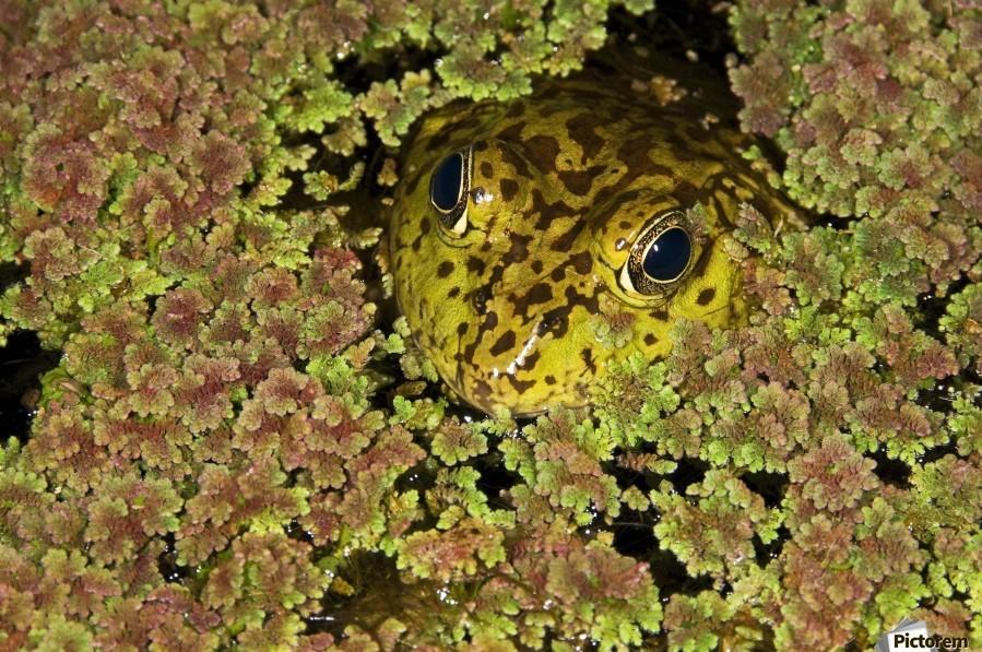American Bullfrog (Rana Catesbeiana), California, Usa ; Bullfrog Hiding In Duckweed  Print
