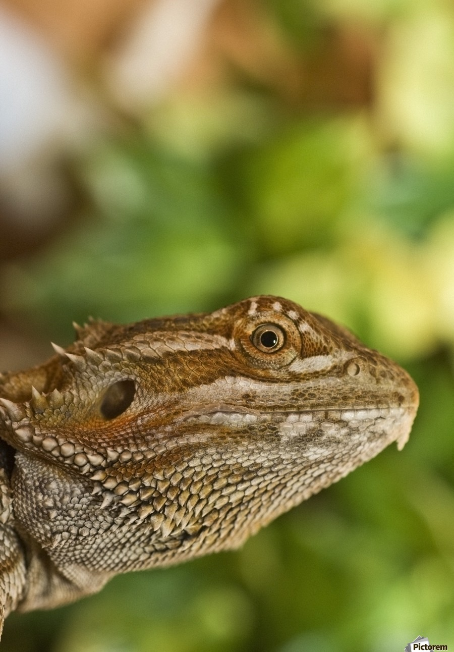 Bearded Dragon Lizard  Print