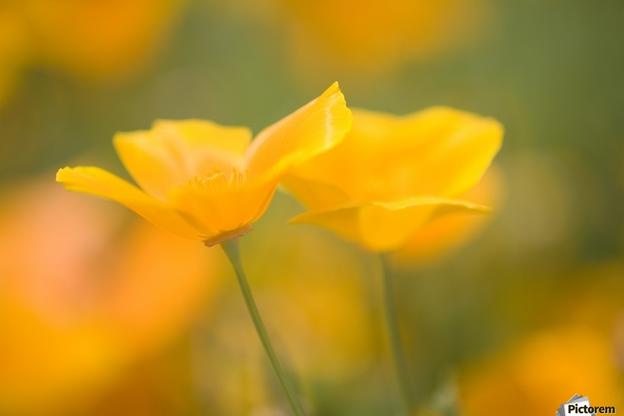 Yellow Poppy Flower, Mount Hood, Oregon, Usa  Print