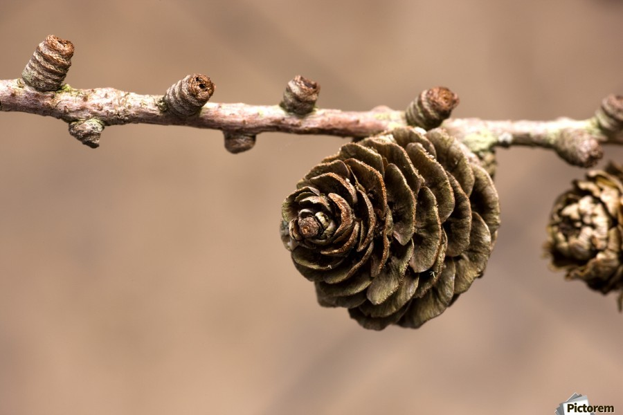 A Conifer Cone On A Tree Branch  Print