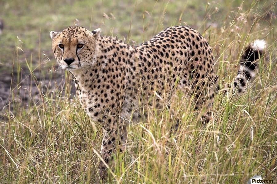 Cheetah (Acinonyx Jubatus), Masai Mara National Reserve, Kenya, Africa; Cheetah On The Prowl  Print
