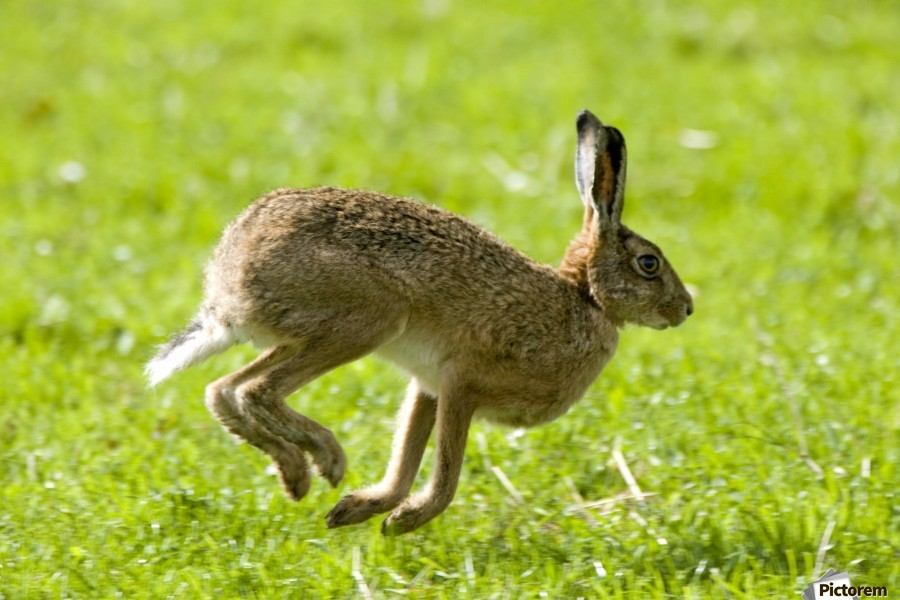 Hare Hopping In The Grass  Print