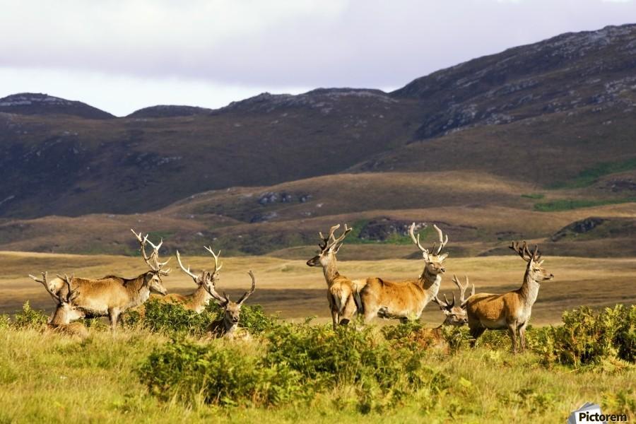 Island Of Islay, Scotland; Male Deer Roaming The Hills  Print