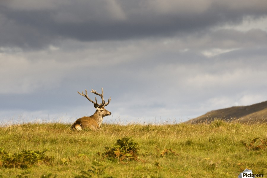 Island Of Islay, Scotland; Buck Resting On A Hill  Print