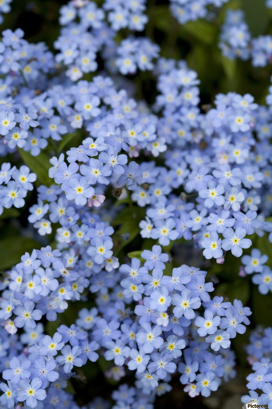 Victoria, British Columbia, Canada; Blooming Blue Flowers  Print