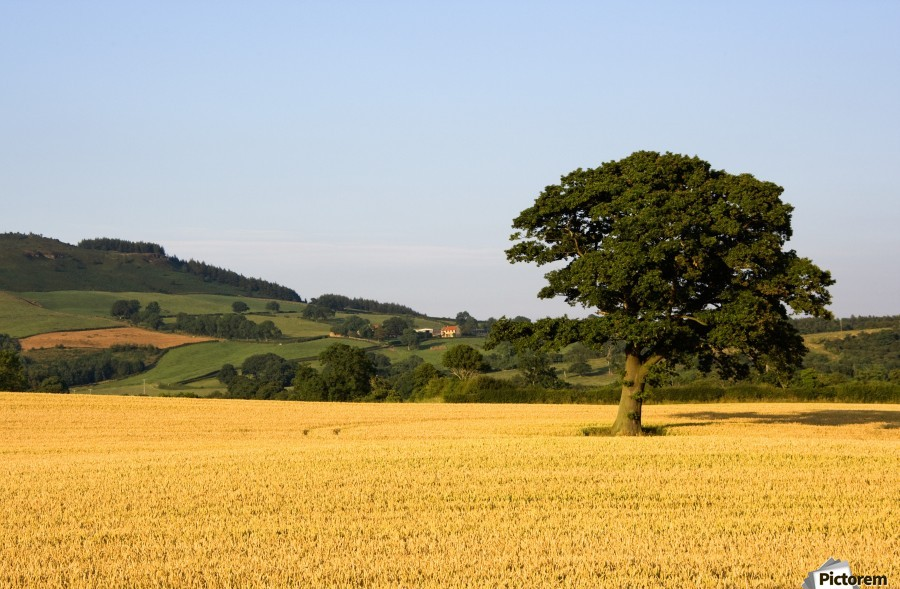 Tree In A Golden Field Of Grain, North Yorkshire, England  Print