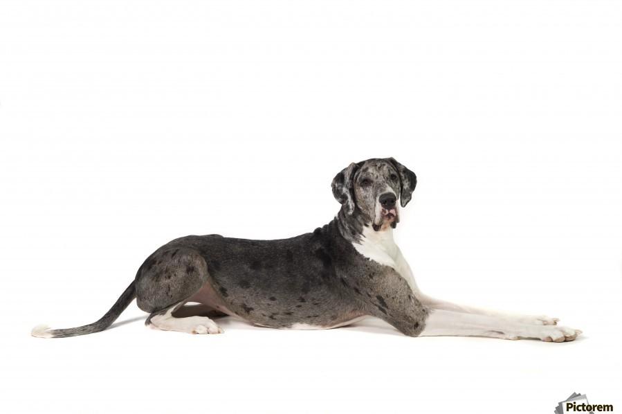 Great Dane Dog  Print
