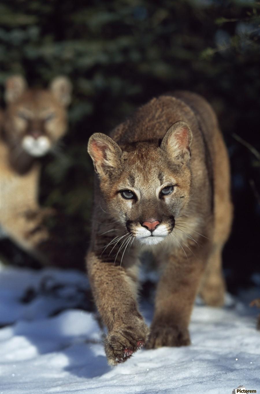 Mountain lion cub (Felis concolor) walking on snow toward camera, mother in background; Montana, Usa  Print
