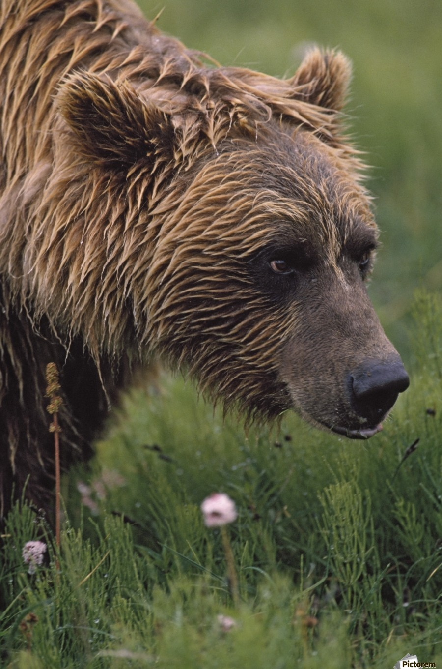 Grizzly Bear Wet From Rain  Print