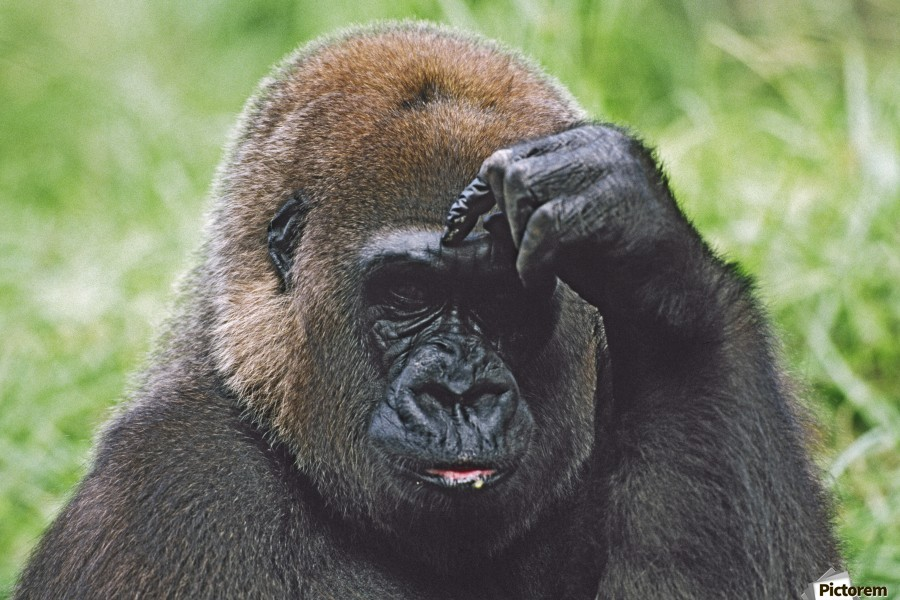 Western Gorilla Portrait With Finger On Brow As If Thinking, Africa  Print
