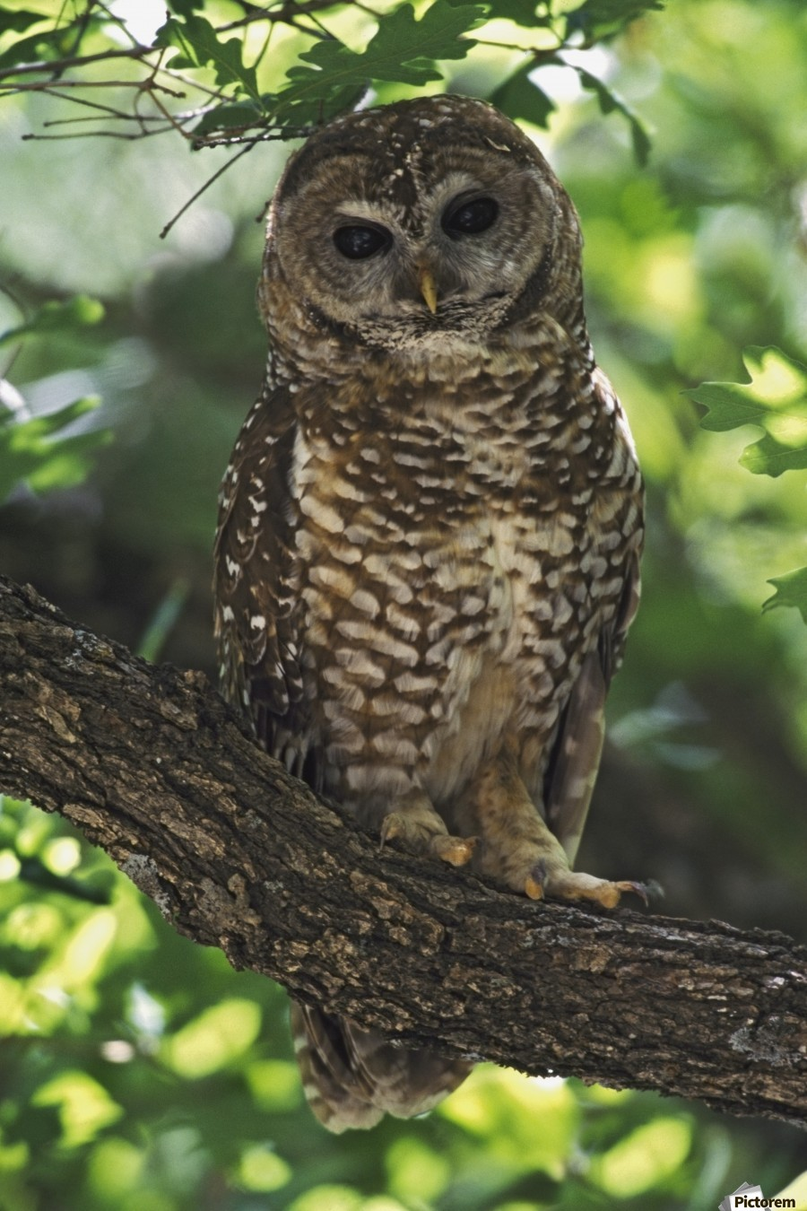 Mexican Spotted Owl On Perch In Gambel Oak  Print