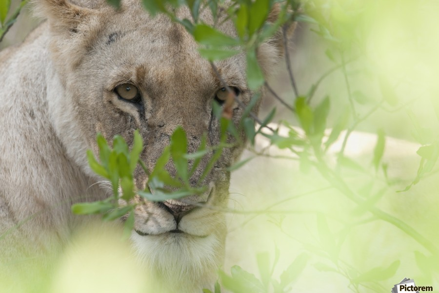Lioness, Kenya, Africa  Print
