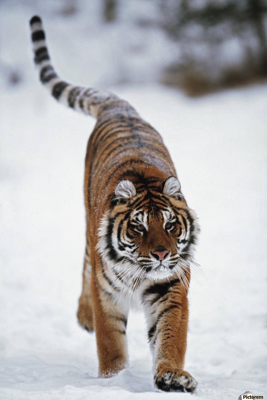 Siberian Tiger In Snow  Print