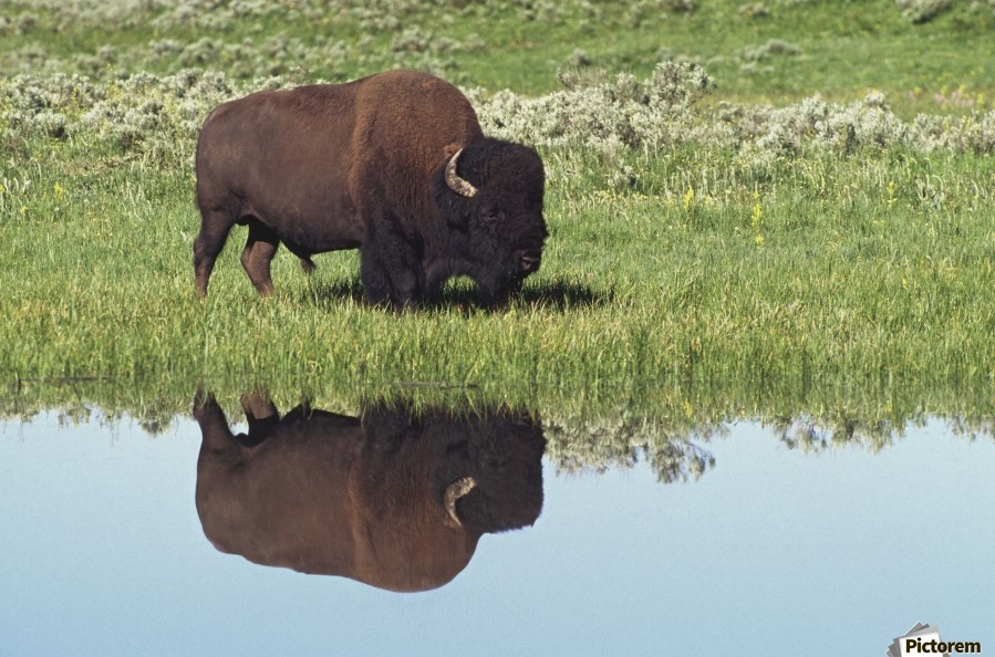 Bison (Bison Bison) On Grassy Meadow With Reflection In Pool  Print
