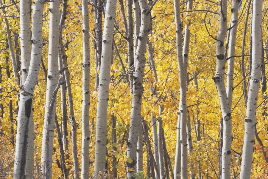 Kananaskis Country, Alberta, Canada; Aspen Trees In Autumn ...