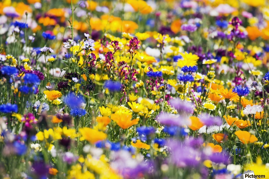 Wildflowers, Mount Hood, Oregon, Usa  Print