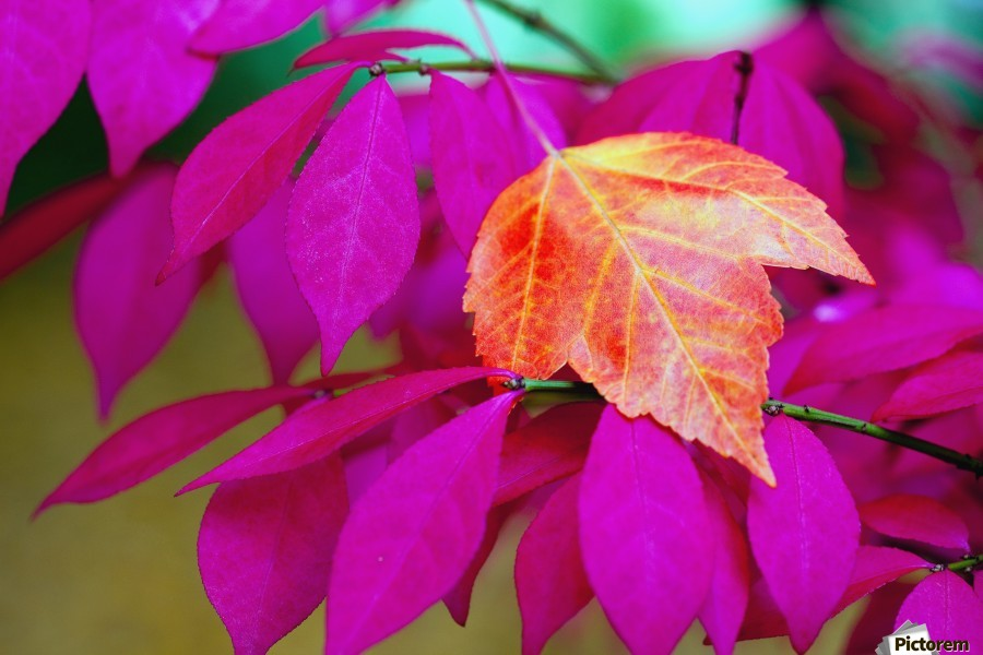 Oregon, United States Of America; A Red Leaf Laying On Bright Pink Leaves  Print