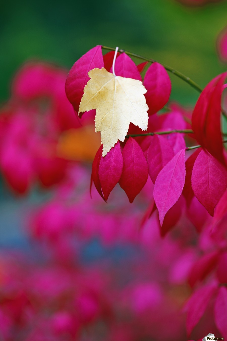 Oregon, United States Of America; A Yellow Leaf Fallen On Pink Leaves  Print
