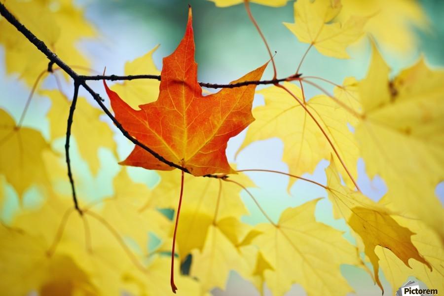 Oregon, United States Of America; An Orange Leaf Fallen On Yellow Leaves  Print
