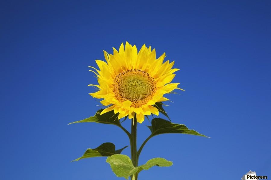 Laval, Quebec, Canada; Sunflower (Helianthus Annuus) Against A Blue Sky  Print