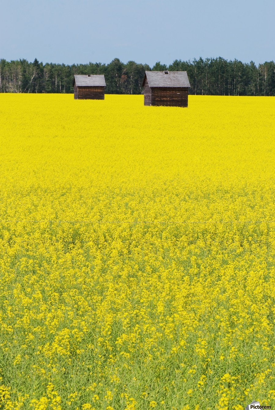 Alberta, Canada; Two Wooden Shacks In A Canola Field  Print