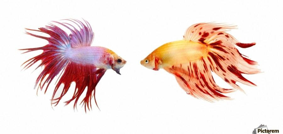 Two Colorful Fish With Long Fins  Print