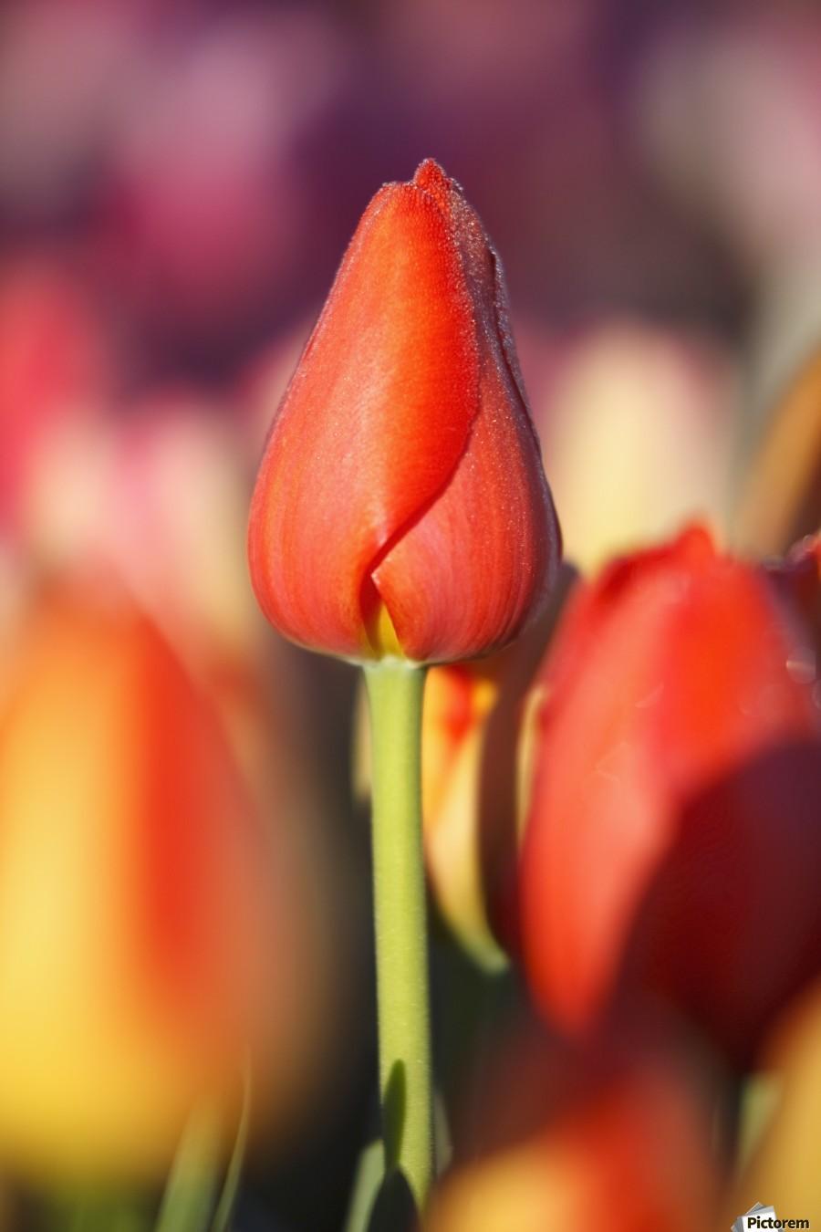 Woodburn, Oregon, United States Of America; Close Up Of A Closed Tulip  Print
