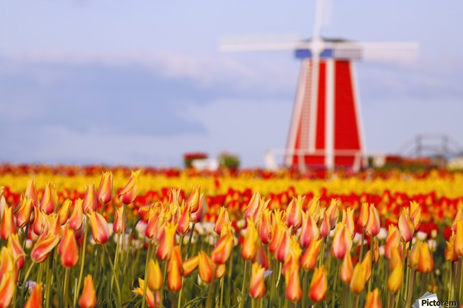 Woodburn, Oregon, United States Of America; A Field Of Tulips And A Windmill At Wooden Shoe Tulip Farm  Print