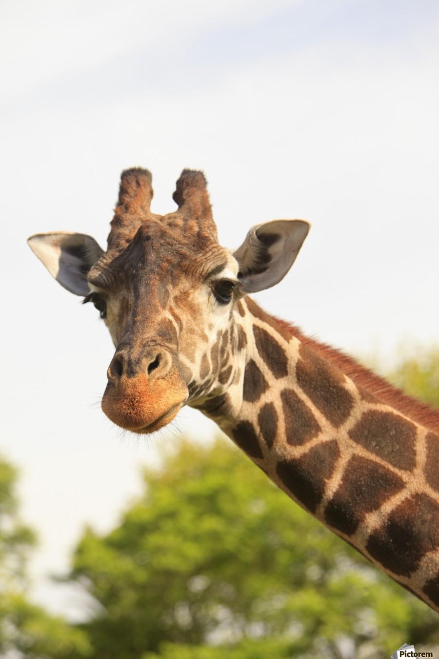 Buenos Aires, Argentina; Giraffe (Giraffa Camelopardalis) In Palermo Zoological Gardens  Print