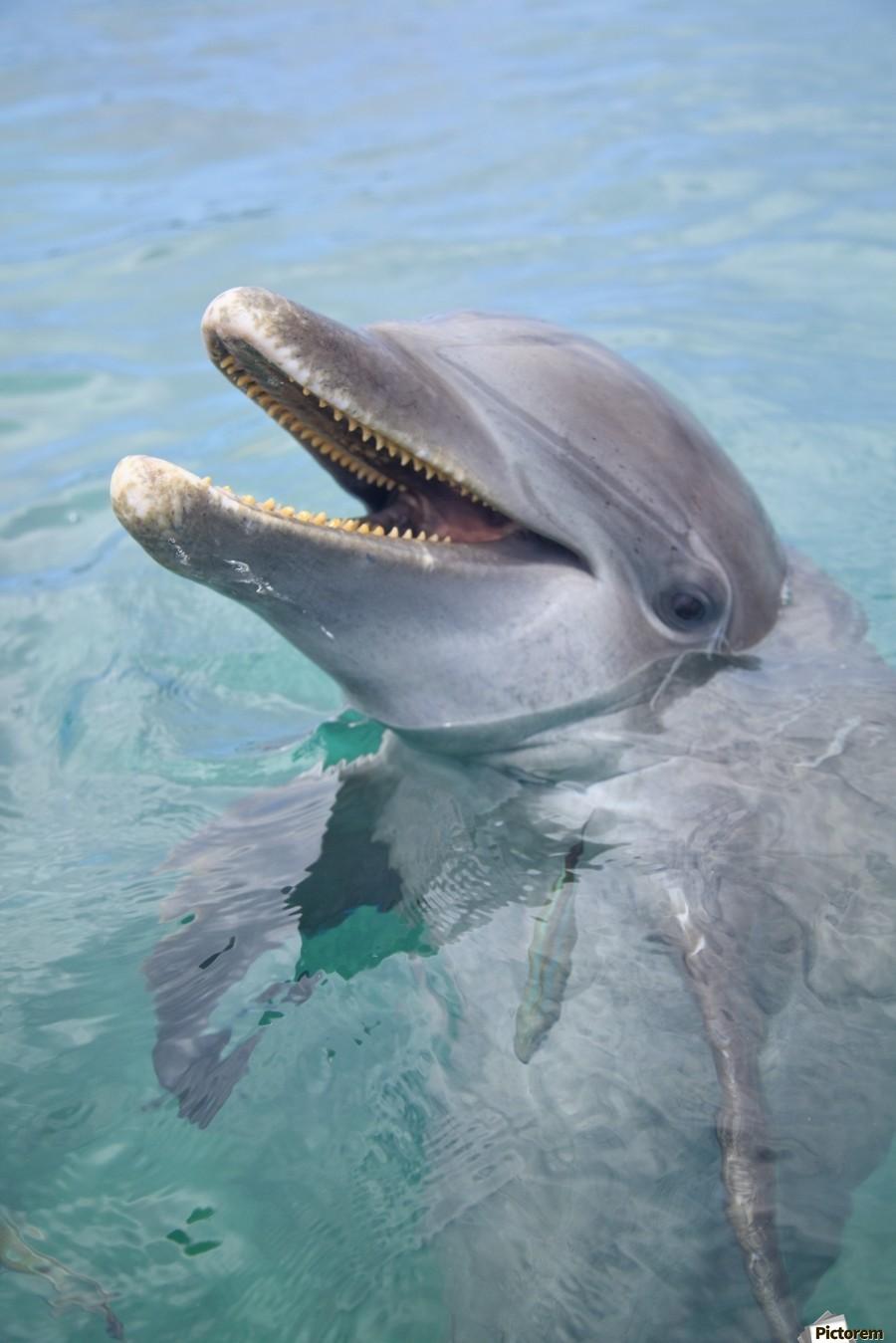Roatan, Bay Islands, Honduras; A Bottlenose Dolphin (Tursiops Truncatus) In The Water At Anthony's Key Resort  Print