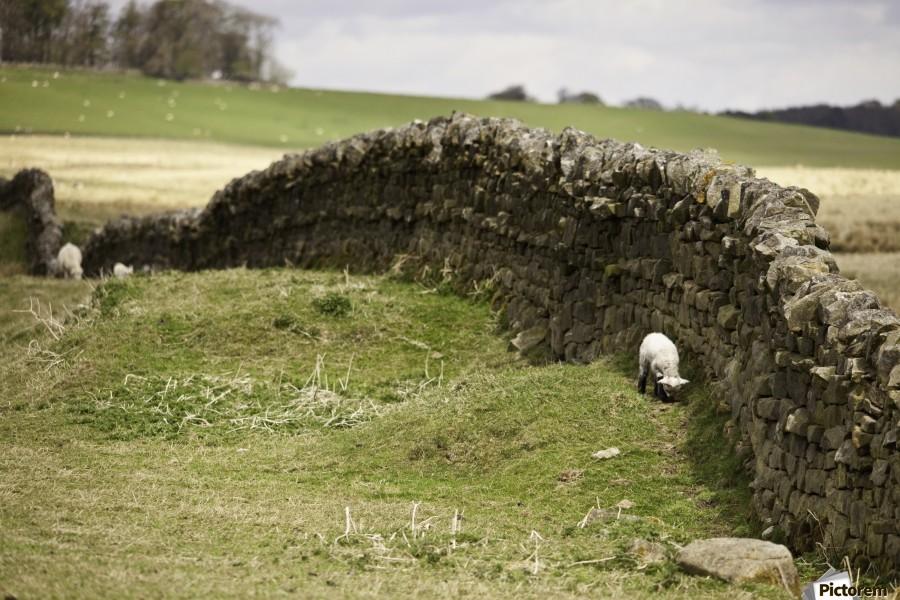Northumberland, England; Sheep Grazing Along A Stone Wall  Print