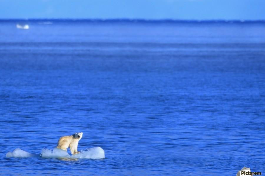 Polar Bear (Ursus Maritimus) Standing On A Piece Of Floating Ice; Coburg Island, Nunavut, Canada  Print
