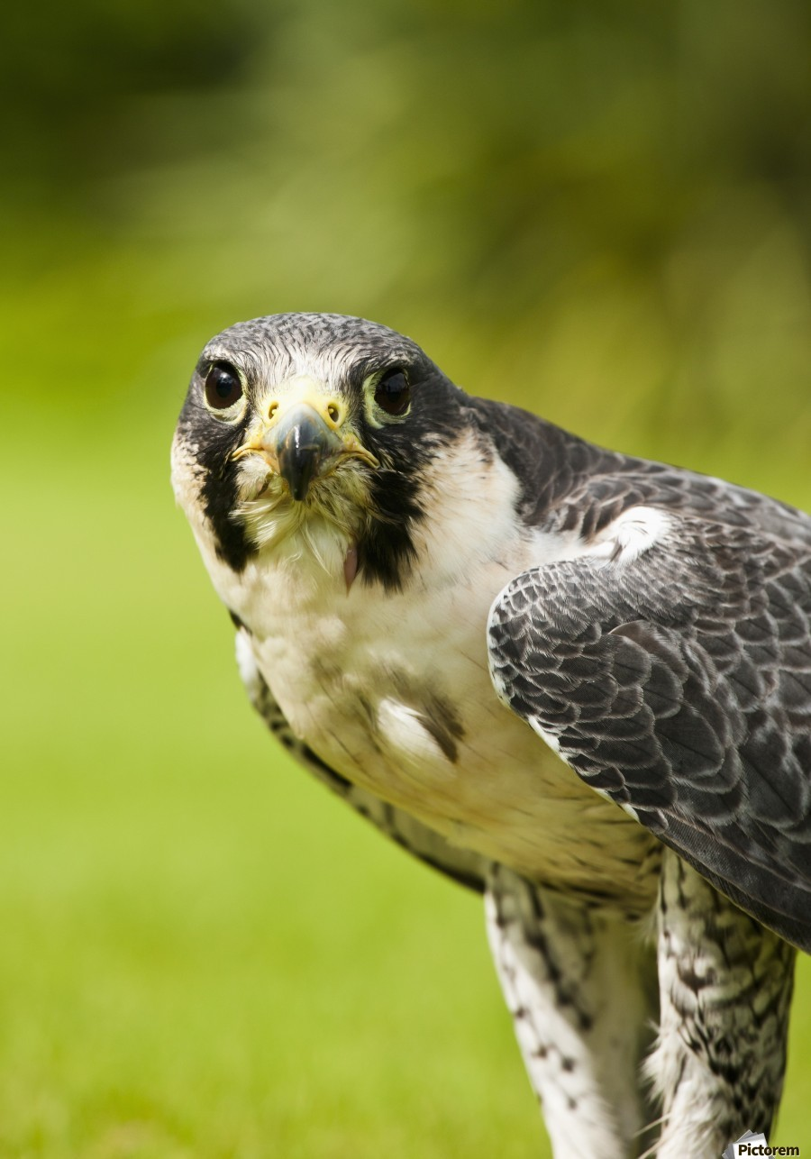 Peregrine Falcon (Falco Peregrinus); Windermere, Cumbria, England  Print