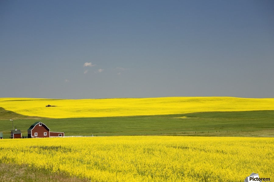 Flowering Canola Fields And A Red Barn; Alberta, Canada  Print