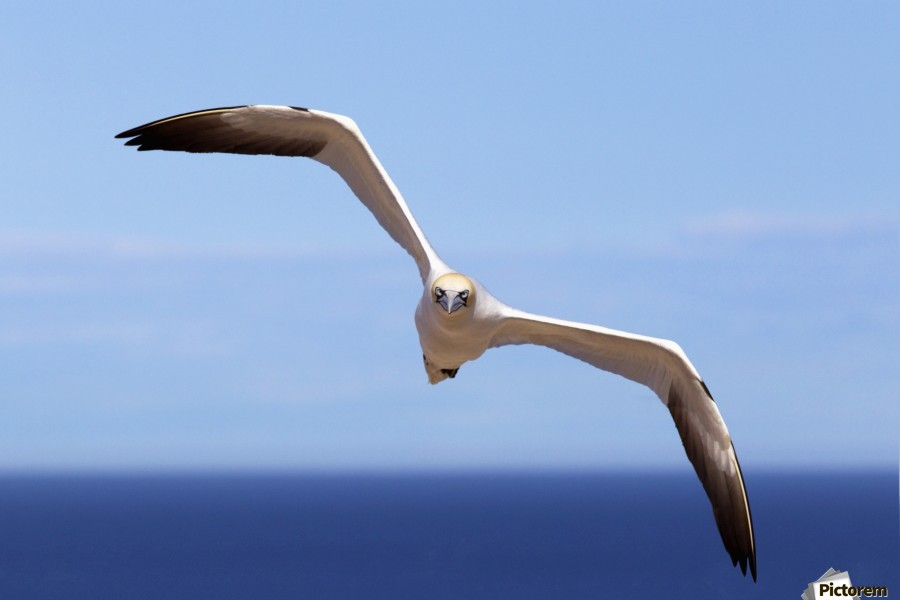Gannet Flying Over The Water; Perce, Quebec, Canada  Print