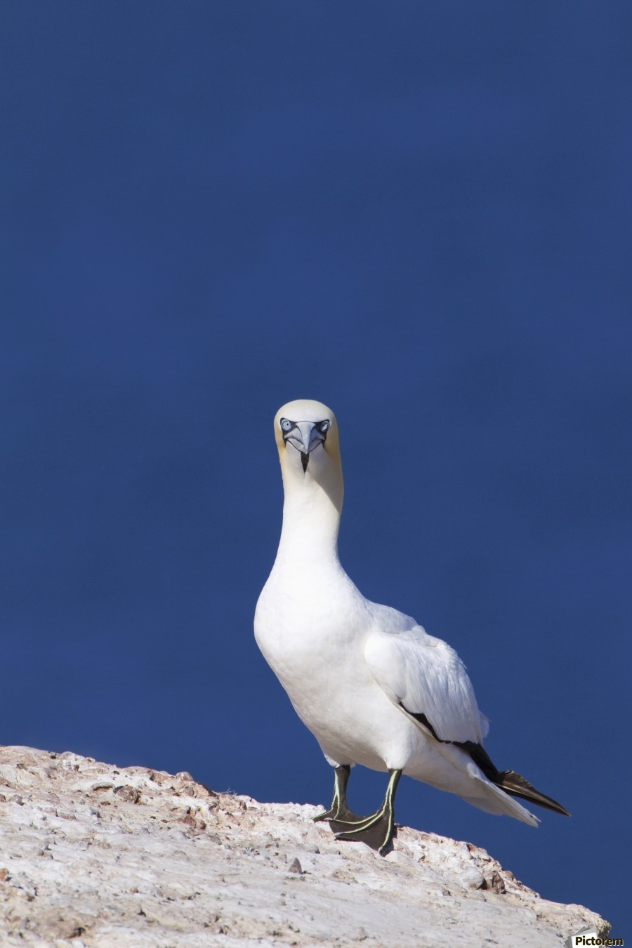 Gannet With An Attitude Staring At The Camera; Perce, Quebec, Canada  Print
