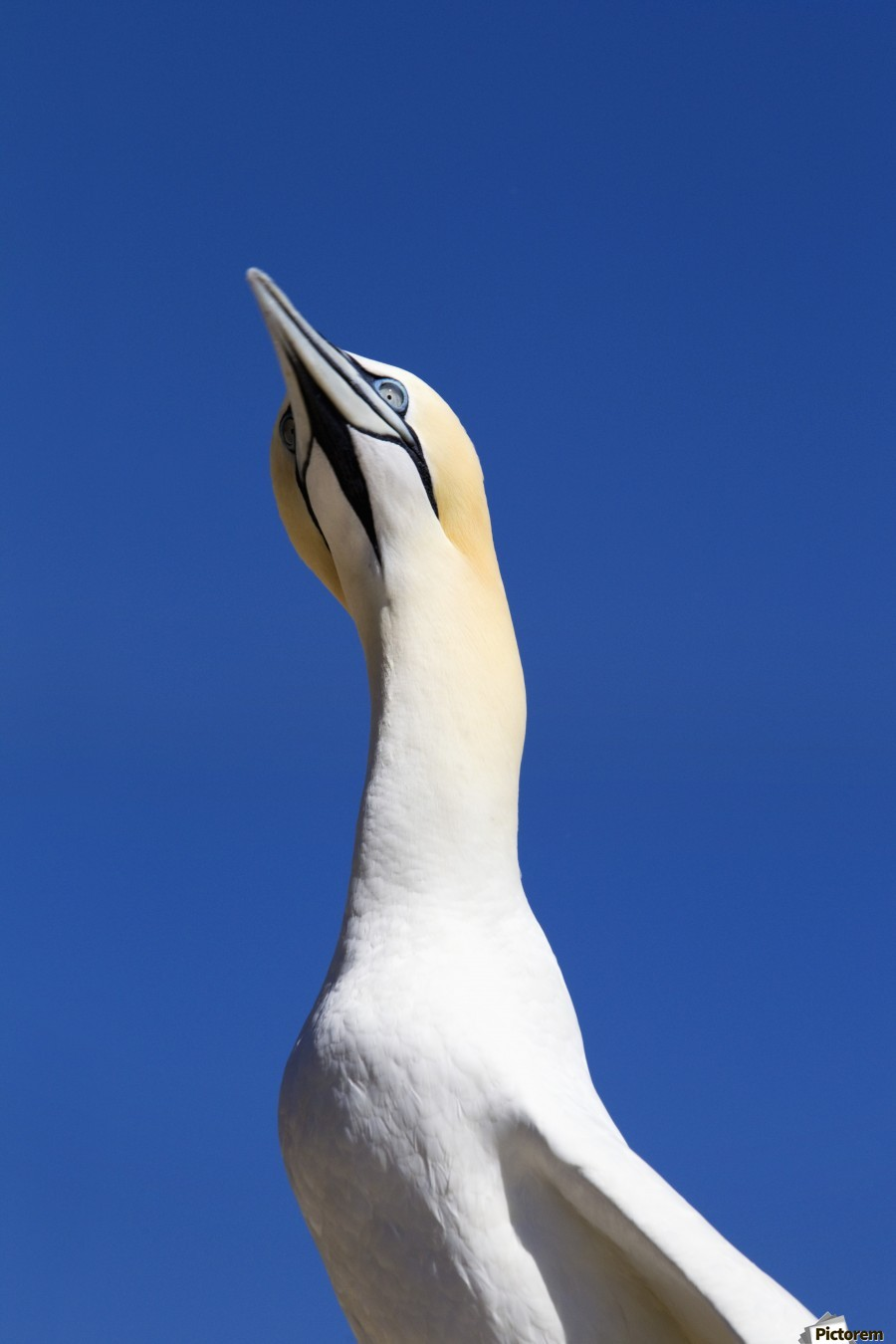 A Single Gannet Searches The Sky For Her Mate On Bonaventure Island; Perce, Quebec, Canada  Print